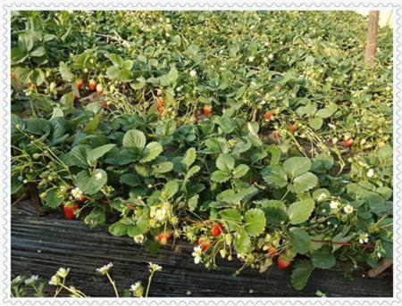 山东考林蓝莓树苗苗圃基地