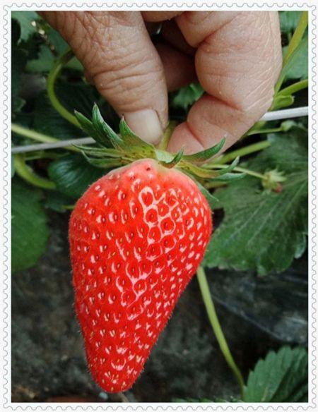 朔州艾克塔蓝莓树苗怎么买