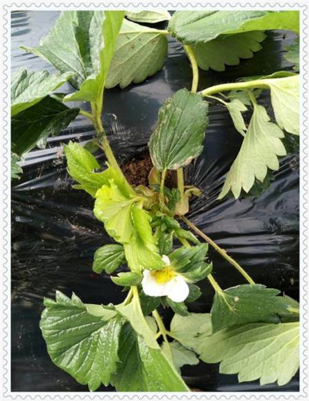 天水莱格西蓝莓树苗管理方式