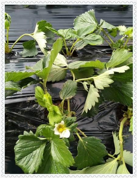 河源考林蓝莓树苗种植方法及时间