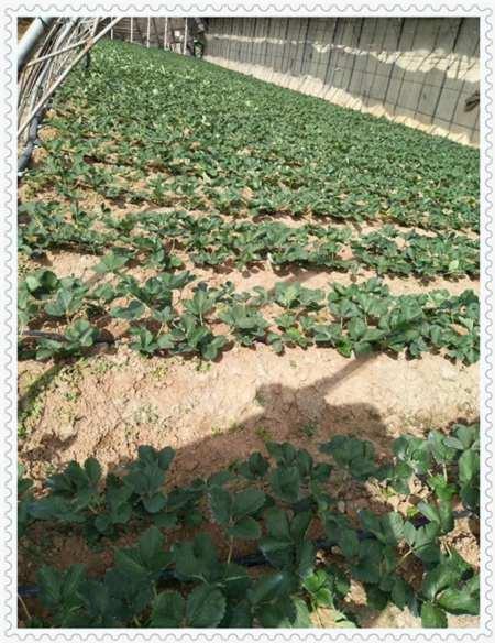 雅安考林蓝莓树苗种植方法