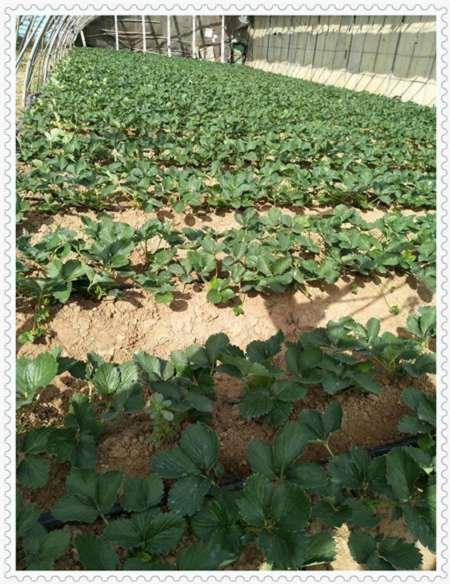 鹤壁开普菲尔蓝莓树苗多少钱一株
