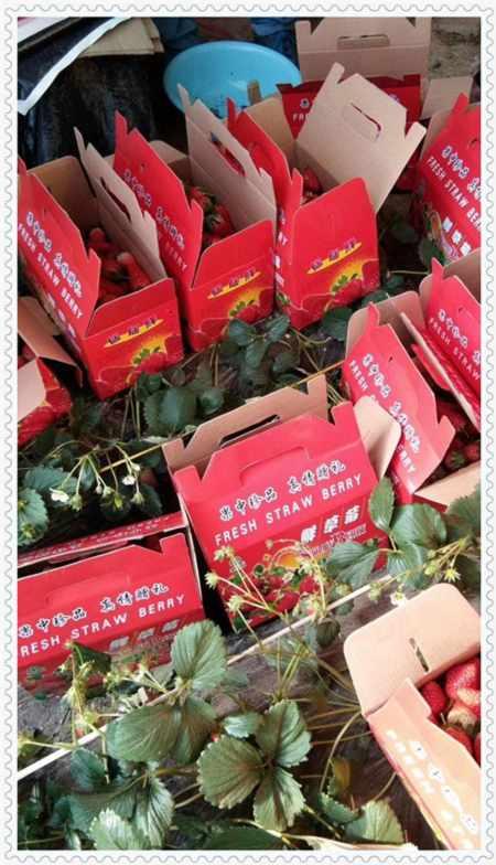 内江 阳光蓝蓝莓苗树苗产地价格