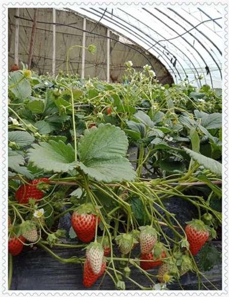 乌兰察布奥尼尔蓝莓树苗种植基地