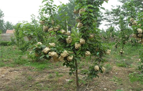 天水巴梨树苗哪里有卖的