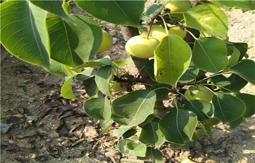 鹤壁黄花梨树苗高产品种
