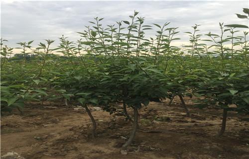 平顶山巴梨树苗成活率高