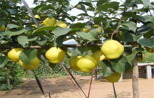 山东五九香梨树苗种植技术