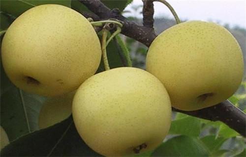 本溪红梨树苗品种介绍