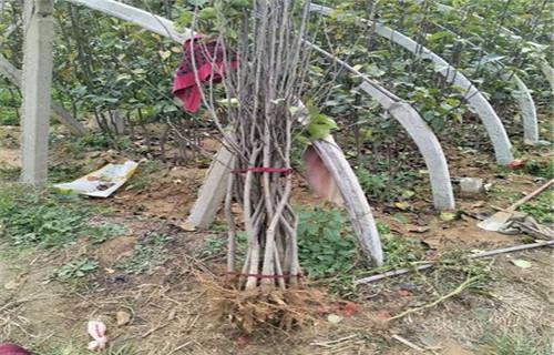 天水褐梨树苗量大从优