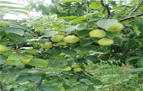 内江早酥红梨树苗多少钱一株