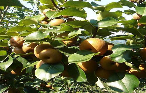 山东苹香梨树苗多少钱一株