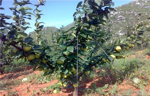 山东大南果梨树苗几年结果