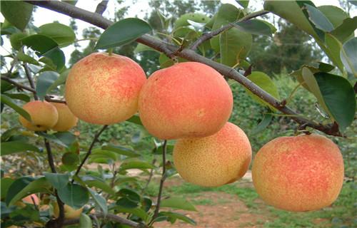 鹤壁梨树原生树苗栽培时间