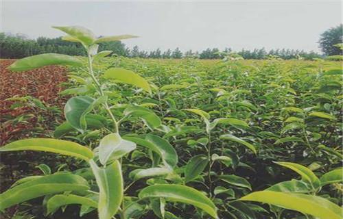 鹤壁大果水金梨树苗成活率高