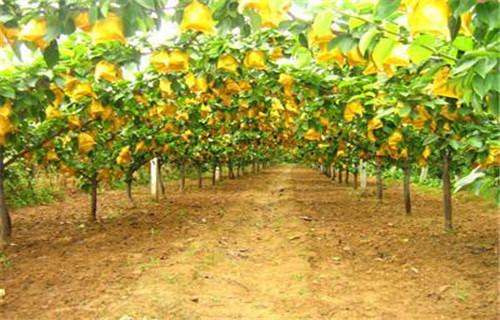 河源晚熟梨树苗品种