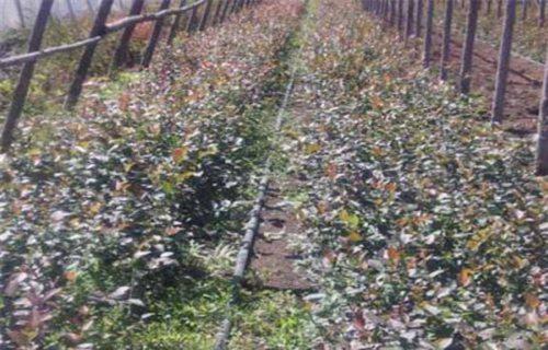 宜昌迪克西蓝莓树苗厂家