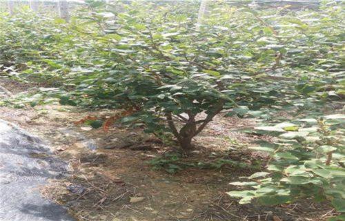 山东艾文蓝蓝莓树苗多少钱一株