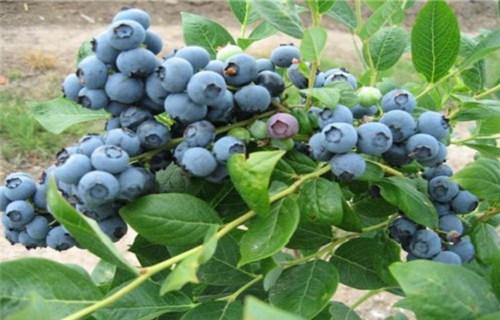 张家界T-172蓝莓树苗0.9公分