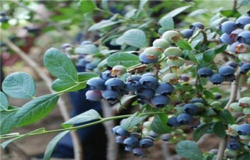 贺州达柔蓝莓树苗哪里的品种纯