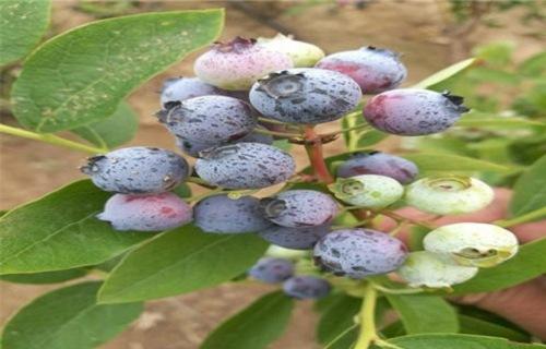平顶山木兰蓝莓树苗种植基地