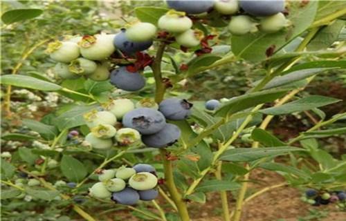 天水蓝光蓝莓树苗怎样