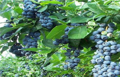 本溪梯芙蓝蓝莓树苗2公分