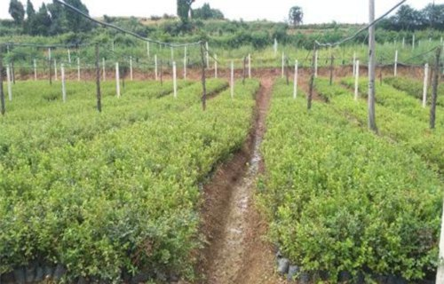 台州维口蓝莓树苗品种
