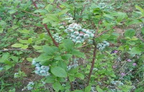 内江大粒星蓝莓树苗批发基地
