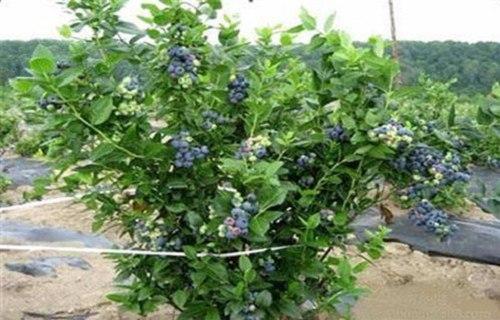 天水北蓝蓝莓树苗一亩地需要多少株
