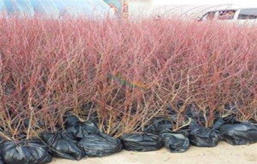 天水康维尔蓝莓树苗生产基地