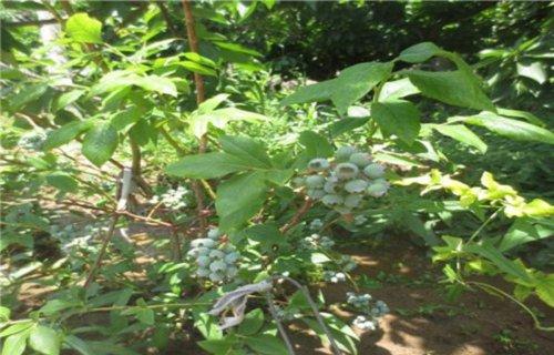 那曲哈里森蓝莓树苗多少钱一颗