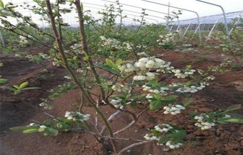 泰安蓝塔蓝莓树苗2020品种
