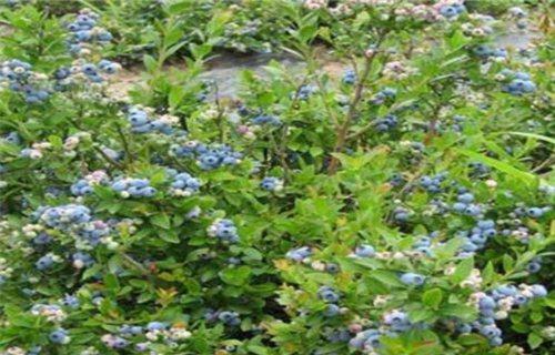鹤壁军号蓝莓树苗哪里的便宜
