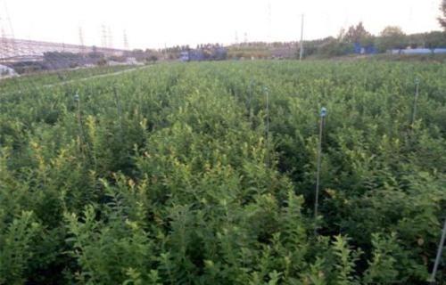 山东莱格西蓝莓树苗苗圃基地