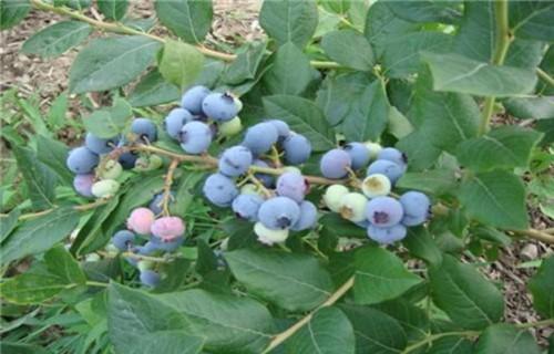 山东日出蓝莓树苗苗圃基地