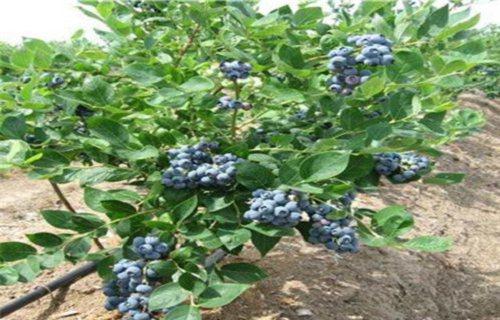 山东布里吉塔蓝莓树苗批发