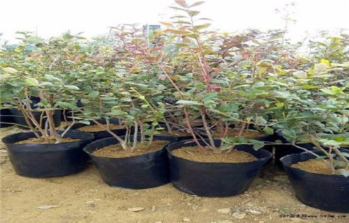平顶山哈里森蓝莓树苗怎么买