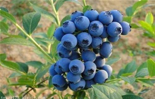天水布莱登蓝莓树苗产地