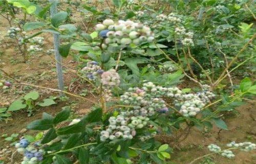 长沙北极星蓝莓树苗报价