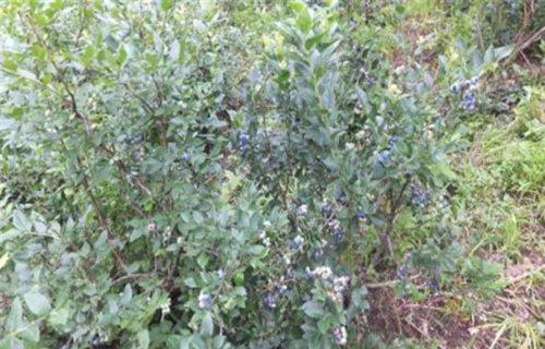 郴州埃利奥特蓝莓树苗价格