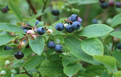 天水艾克塔蓝莓树苗合作社