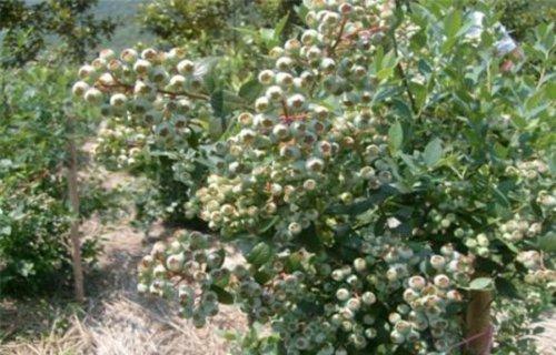 本溪乔治宝石蓝莓树苗20公分