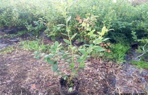 济南北极星蓝莓树苗