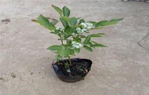 天水赫伯特蓝莓树苗一亩地利润
