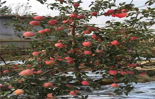 山东海珠短富1号苹果树苗苗圃基地