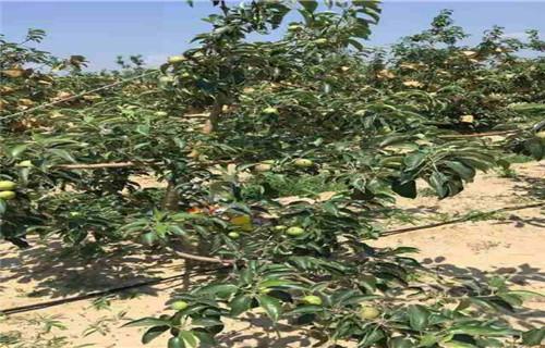 鹤壁烟富6苹果树苗怎么卖