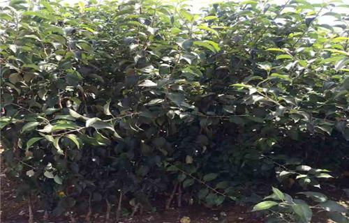 潮州中熟苹果树苗哪里的价格低