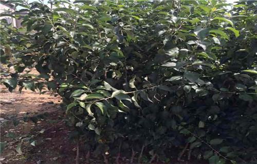 山东海珠短富1号苹果树苗一亩地种植利润