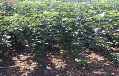 果洛晚熟苹果树苗批发低价